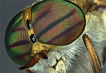 INFINITY2 sample image of biting fly